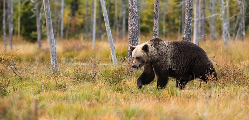 A brown bear - in this guide to bear safety when camping, they are the most dangerous type of bear to come across in the wild.