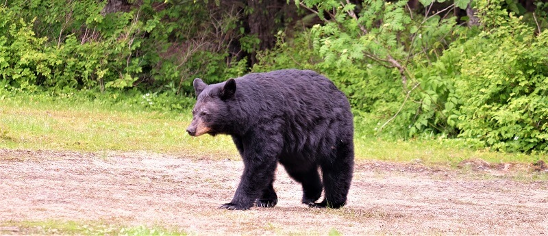 Black bears are less dangerous than brown, but should not be underestimated. They're still very dangerous.