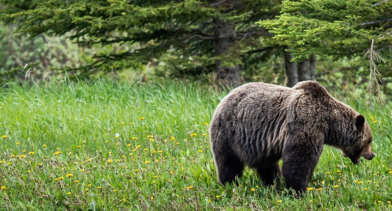 A brown bear that hasn't noticed the photographer